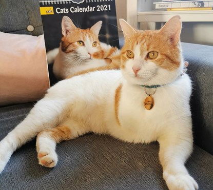 ginger-and-white three-legged cat sitting in front of Cats Calendar 2021