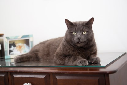 grey cat sitting on glass-topped wooden side table