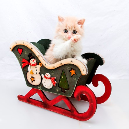 Kitten in sleigh
