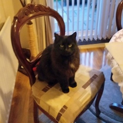 long-haired black cat sitting on dining chair