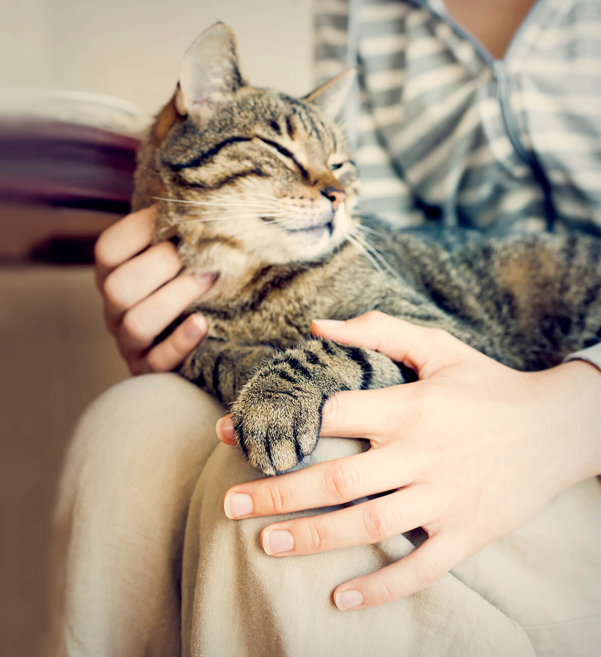 tabby cat sitting on owner's lap