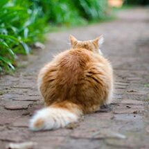 ginger cat sitting on path facing away from camera