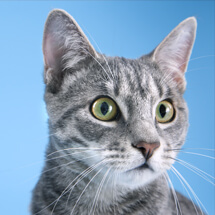 alert tabby cat on a blue background