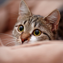 close up of an alert tabby cat