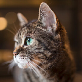 side view of a tabby cat's head