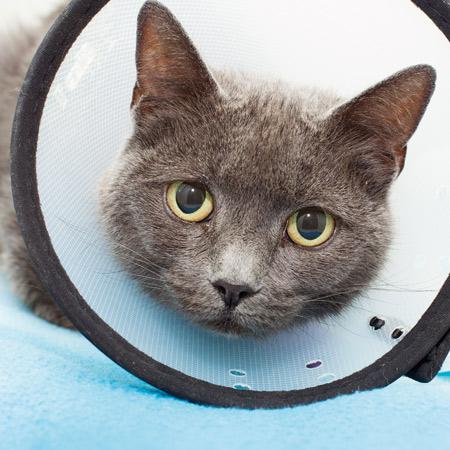 Cat wearing a head cone