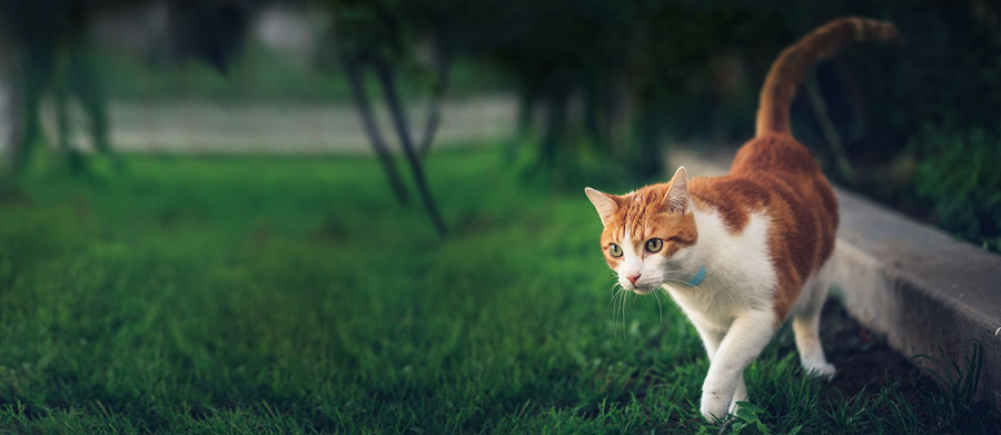 Ginger cat on the grass