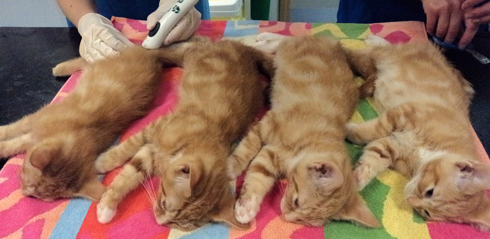 Ginger kittens being castrated.