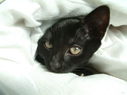 Kitten hiding under a duvet