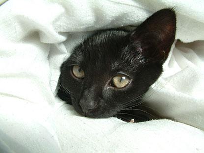Kitten hiding under a duvet