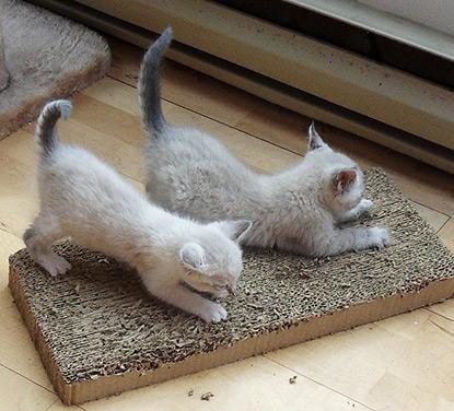 Kittens scratching
