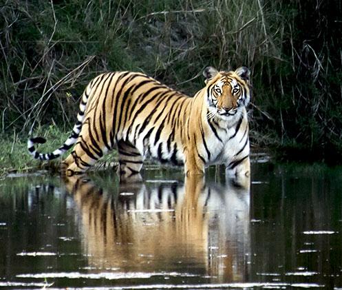 Tiger trek