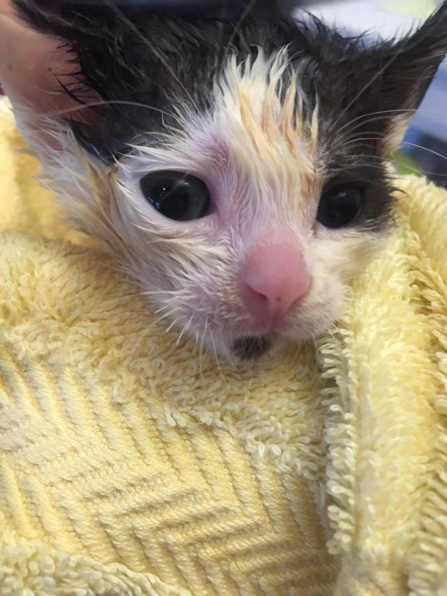 kitten being bathed