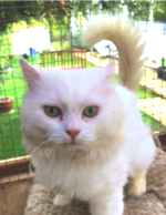 Casper, a long-haired white cat