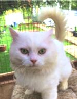 Casper, a long-haired white cat