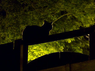 Cat on a fence against a dark green tree, at twilight