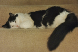Rose, a long-haired black and white cat