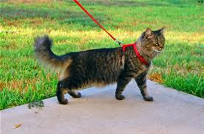 Cat walking in a garden on a harness and lead