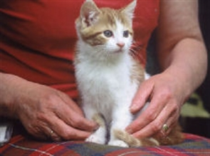 ginger and white kitten on fosterers lap