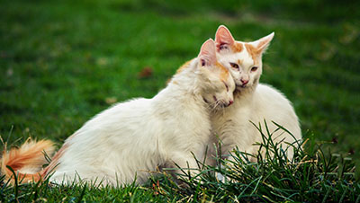 two white and ginger cats cuddling