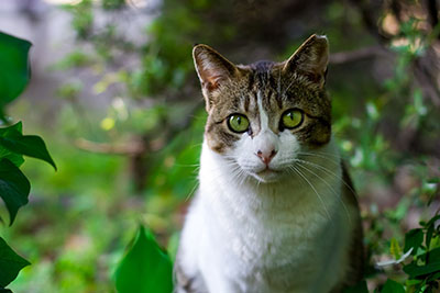 tabby and white cat sitting in some leaves