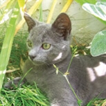 Stalking grey cat
