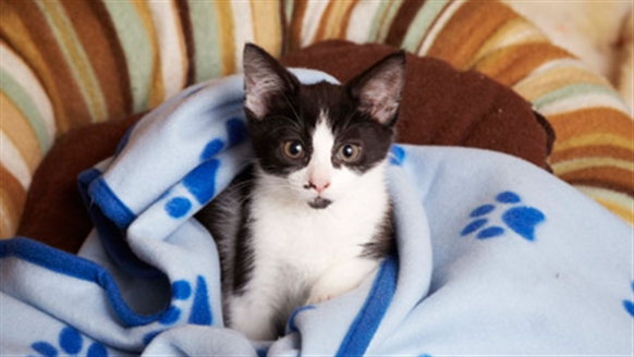 Black and white cat in a blanket