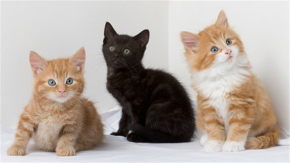 Two ginger and a black kitten.