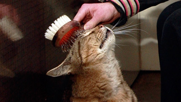 Cat enjoying a brush