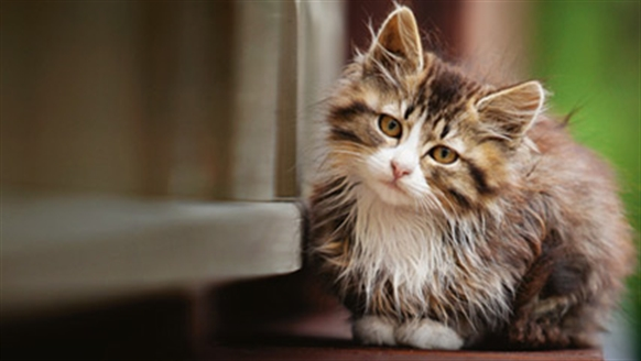 Long-haired tabby cat