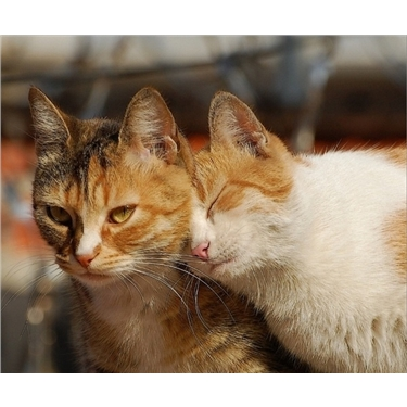 Introducing a new cat or kitten to a resident cat