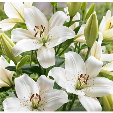 The danger of lilies