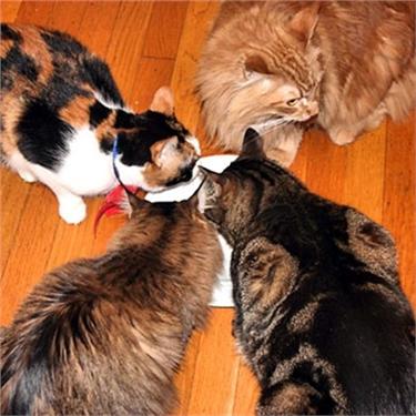 The multi-cat household