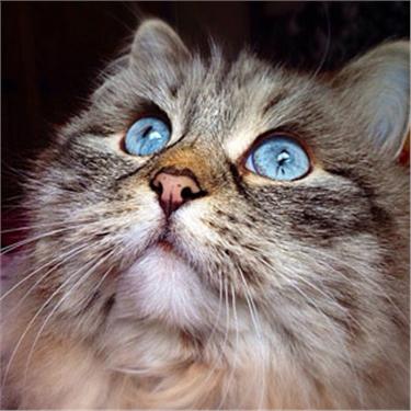 Rumpleteazer feline