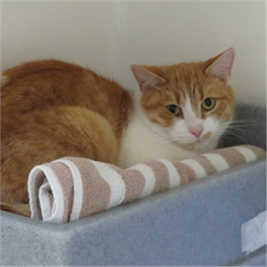 Kiss a Ginger Day: could you give gorgeous ginger cat Peanut a home?
