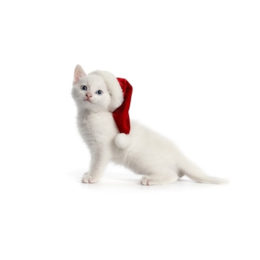 Hazards to our feline friends at Christmas time