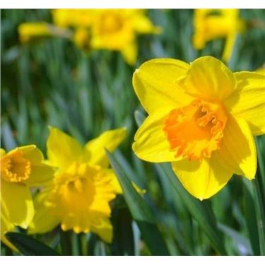 Narcissus Poisoning