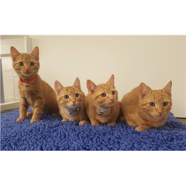 Unusual litter of all ginger females!