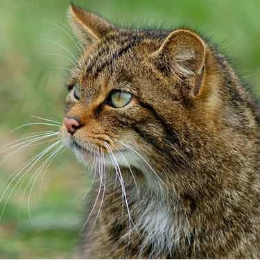 Cats Protection dismayed at plans to shoot Scottish feral cats