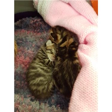 Hand Rear Kittens