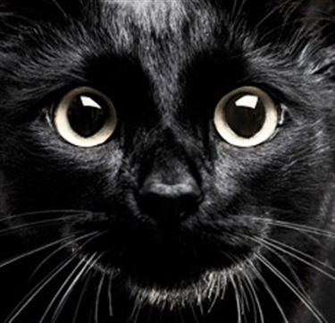 Black Cat Awareness Day becomes annual event