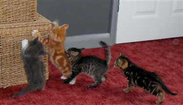 Kittens ready approx end September
