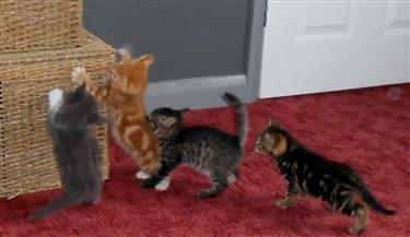 Kittens ready approx end September