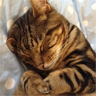 inflammatory bladder in cats