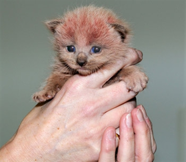 Future looks rosy for 'pink' kittens