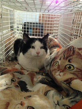Stirling - in Desperate need of home with no other cats