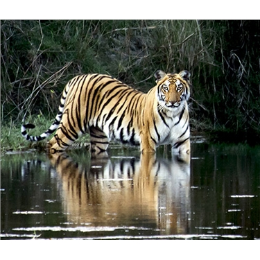 Himalayan trek and tiger conservation experience