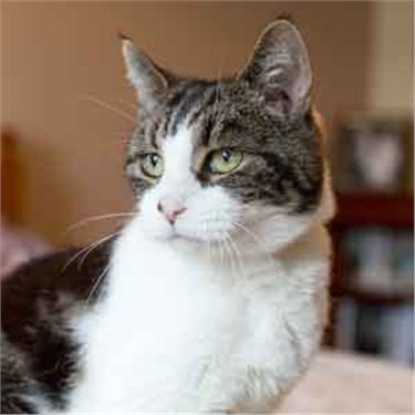 Sweet diabetic cat Tilly needs a forever home