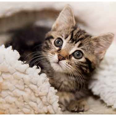 **KITTEN FOSTERERS REQUIRED**