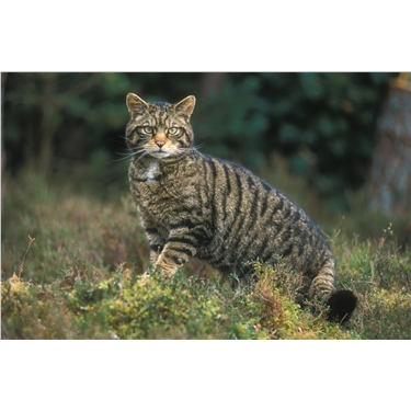 Petition to stop the shooting of Scottish Cats trapped by mistake during Wildcat Conservation Project
